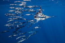 Striped Marlin Hunting Sardines In Sea