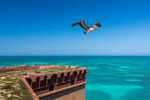 Brown Pelican Flying Over Fort...