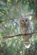 Portrait Of Ural Owl Perching On Branch