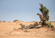 Group Of Cheetahs Relaxing Under Shade Of Tree