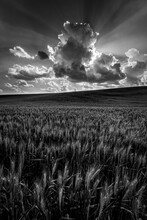 View Of Wheat Field Under Clou...