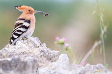 Close Up Of Eurasian Hoopoe Wi...