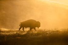 Silhouette Of Bison Walking On Grassy Landscape During Sunrise