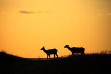 Silhouette Of Elk Walking On Landscape
