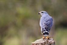 Close Up Of Gray Hawk Perching On Stump