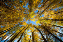 Low Angle View Of Aspen Trees ...