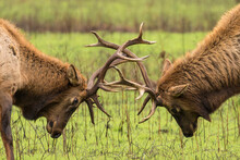 Close Up Of Bull Elks Fighting...