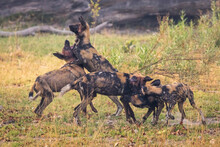 African Wild Dogs Playing Together In Okavango Delta