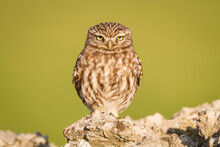 Little Owl Perching On Stone