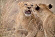 Lion Cubs Playing In Kenya