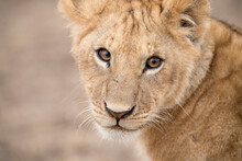 Portrait Of Lion Cub