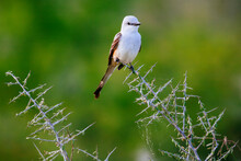 Close Up Of Scissor Tailed Flycatcher Perching On Tree