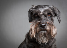 Portrait Of Miniature Schnauzer