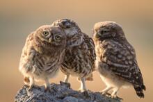 Portrait Of Little Owls Perching On Rock