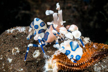 Close Up Of Harlequin Shrimp Feeding On Starfish Leg