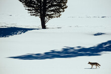 Coyote Walking Along Banks Of Yellowstone River In Yellowstone National Park
