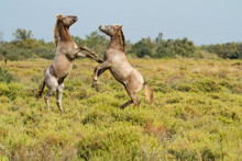 Camargue Horse Playing On Grassy Landscape