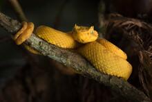 Portrait Of Eyelash Pit Viper On Branch