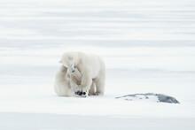 Polar Bear Playing On Shore Of Hudson Bay