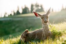 Portrait Of Mule Deer Sitting ...