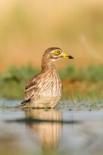 Close Up Of Eurasian Stone Curlew Bathing In Pond