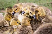 Close Up Of Canada Goose Chicks