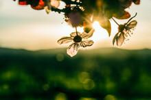 Close Up Of Plum Blossom Flower