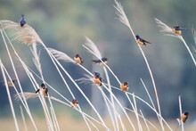 Group Of Barn Swallow Perching On Crops