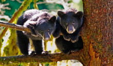 American Black Bear Cubs On Tree