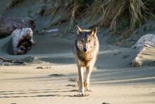 Portrait Of Wild Gray Wolf Walking On Beach