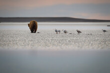 Grizzly Bear Digging For Clams...