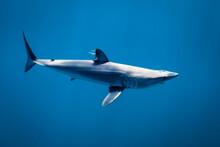 Portrait Of Mako Shark Swimmin...