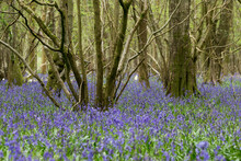 Scenic View Of Bluebell Woodla...