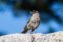 Close Up Of White Crowned Sparrow Perching On Rock