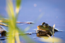 Marsh Frog Swimming In Pond