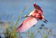 Roseate Spoonbill Flying Mid Air