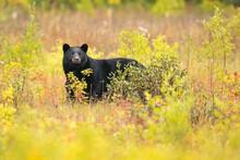 Portrait Of American Black Bear Standing In Meadow