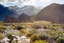 Wildflowers On Alabama Hills W...