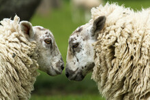 Close Up Of Sheep In Pasture