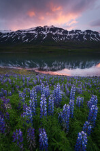 Field Of Purple Lupine With Mountain And Lake In Background During Sunset