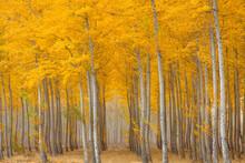 Pacific Albus Trees In Boardman