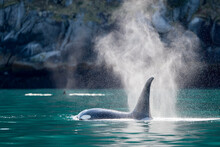 Orca Spouting Water From It's ...