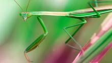 Beautiful Green Praying Mantis...