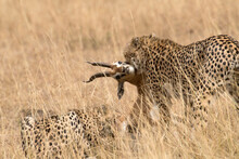 View Of Cheetah With Gazelle K...