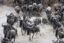 View Of Wildebeest Crossing River During Great Migration In Kenya