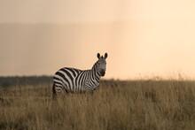 Portrait Of Zebra Standing In ...