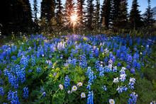 View Of Wildflowers In Mount Rainier National Park, Washington