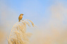 African Stonechat Perching On Reed Bed