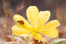Close Up Of Ladybird Beetle On Primrose Wildflower