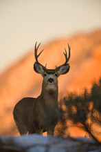 Portrait Of Mule Deer Standing...